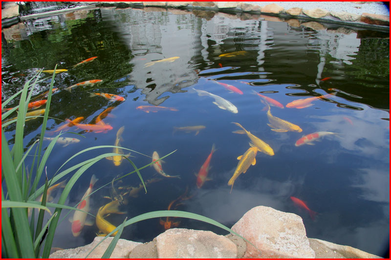Koi pond cleaning experts pond plants that filter ikan for Koi pond maintenance near me